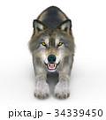 狼 イヌ科 動物のイラスト 34339450