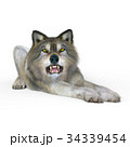 狼 イヌ科 動物のイラスト 34339454