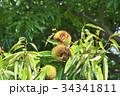 琵琶湖の栗園 34341811