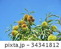 琵琶湖の栗園 34341812