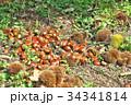 琵琶湖の栗園 34341814
