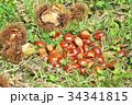 琵琶湖の栗園 34341815