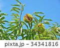 琵琶湖の栗園 34341816
