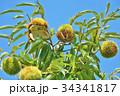 琵琶湖の栗園 34341817