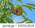 琵琶湖の栗園 34341818