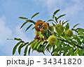 琵琶湖の栗園 34341820