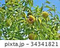琵琶湖の栗園 34341821