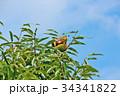 琵琶湖の栗園 34341822
