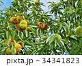 琵琶湖の栗園 34341823