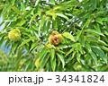 琵琶湖の栗園 34341824