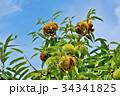 琵琶湖の栗園 34341825
