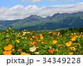 花 アイスランドポピー 花菱草の写真 34349228