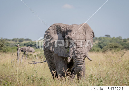 Elephant standing in high grass. 34352254