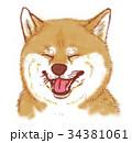 柴犬 34381061