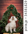 White poodle look up 34381829