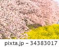 桜 春 染井吉野の写真 34383017