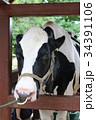 つながれている牛 34391106