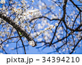 うめ 春告草 ソシンロウバイの写真 34394210