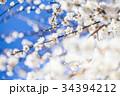うめ 春告草 ソシンロウバイの写真 34394212