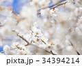うめ 春告草 ソシンロウバイの写真 34394214