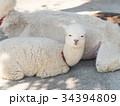 アルパカ ラクダ科 哺乳類の写真 34394809