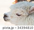 アルパカ ラクダ科 哺乳類の写真 34394810