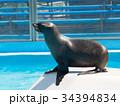 オットセイ 海獣 アシカ科の写真 34394834