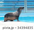 オットセイ 海獣 アシカ科の写真 34394835