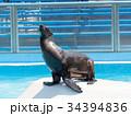 オットセイ 海獣 アシカ科の写真 34394836