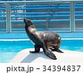 オットセイ 海獣 アシカ科の写真 34394837