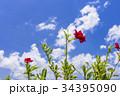南国の花・ハイビスカス 34395090