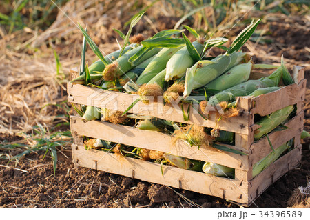 Close up fresh nature sweet corn in wood box on 34396589