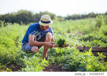 Farmer harvesting fresh crop of parsley on the 34396597