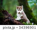 動物 巨体 ハスキーの写真 34396901