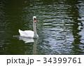 白鳥 鳥 水鳥の写真 34399761