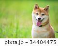 緑背景に柴犬 飼い犬 日本犬 34404475