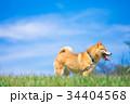 柴犬 犬 ペットの写真 34404568