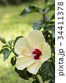 ハイビスカス 花 アップの写真 34411378