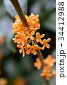 キンモクセイ 植物 花の写真 34412988