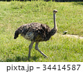ダチョウ 鳥類 ダチョウ科の写真 34414587