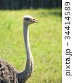 ダチョウ 鳥類 ダチョウ科の写真 34414589