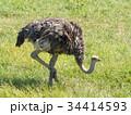 ダチョウ 鳥類 ダチョウ科の写真 34414593