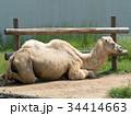 フタコブラクダ ラクダ 駱駝の写真 34414663