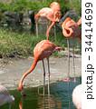 フラミンゴ 鳥 フラミンゴ科の写真 34414699