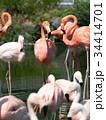 フラミンゴ 鳥 フラミンゴ科の写真 34414701