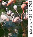 フラミンゴ 鳥 フラミンゴ科の写真 34414705