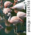 フラミンゴ 鳥 フラミンゴ科の写真 34414708