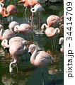 フラミンゴ 鳥 フラミンゴ科の写真 34414709
