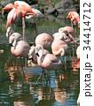 フラミンゴ 鳥 フラミンゴ科の写真 34414712