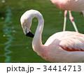フラミンゴ 鳥 フラミンゴ科の写真 34414713